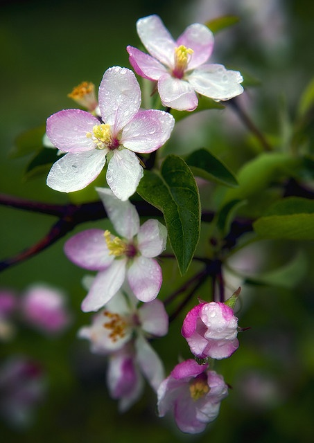 "Apple blossoms. ""The apple blossom exists to create fruit; when that comes, the petal falls."""