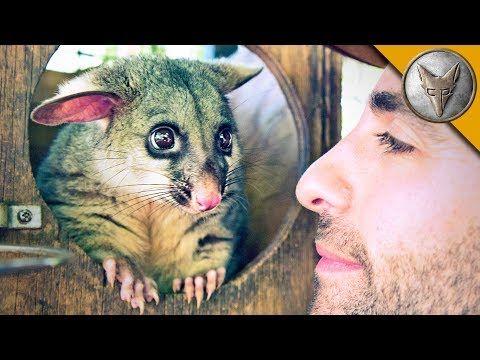 (7) World's Cutest Possum! - YouTube