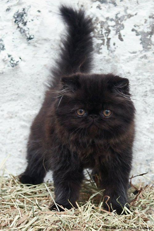 **Black persian kitten