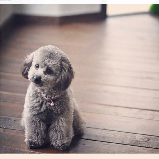 Pretty little Poodle <3<3<3<3  ~ REMINDS ME OF OUR LITTLE SHADOW.... MISS YOU SO MUCH LITTLE BOY ;'(  <3<3<3<3<3<3<3