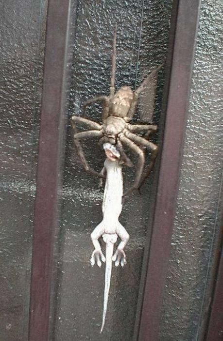 Meanwhile, in Australia, a giant spider eating a lizard.....