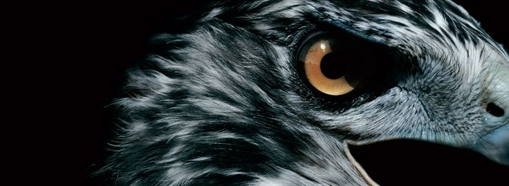 Image shows close detail of a hawk's eye from the Hawk branding project