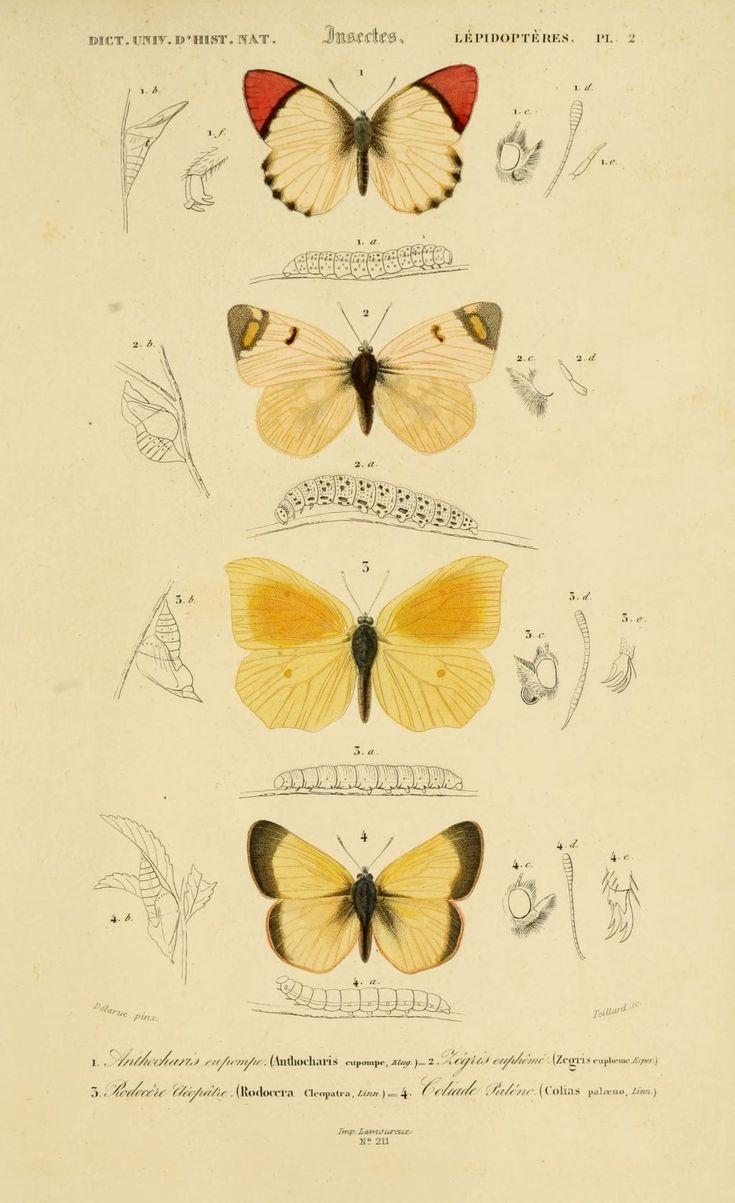 gravures couleur d'insectes - dessin insectes 0177 papillon zegris eupheme - zegris eupheme - Gravures, illustrations, dessins, images