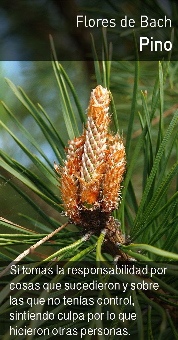 El pino alivia los sentimientos de insuficiencia con la comprensión de que nuestros mejores esfuerzos son suficientes.