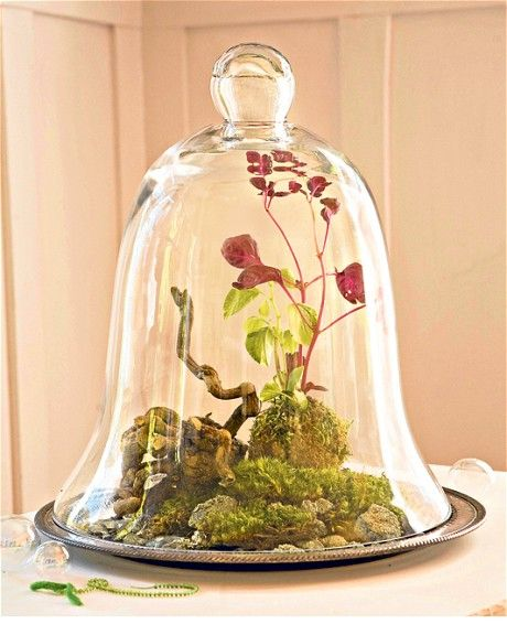 Cloche terrarium with moss, roots and green and red peperomia plants - Indoor gardens - Tabletop design