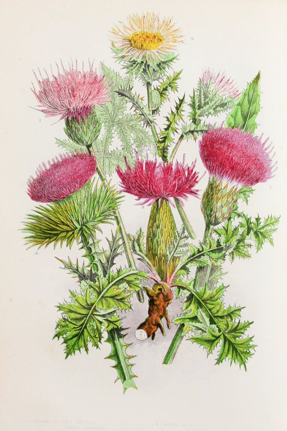 Anne Pratt Antique Botanical  Print - Purple Plume Thistle, Dwarf, Meadow, Cotton, Tuberous, Carline