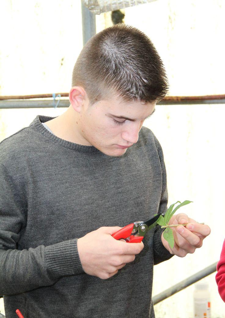 Preparação de materiais para propagação vegetativa em Tecnologias Culturais em Horticultura. Preparation of materials for vegetative propagation on Production Technologies in Horticulture. © Serviços de Imagem IPB