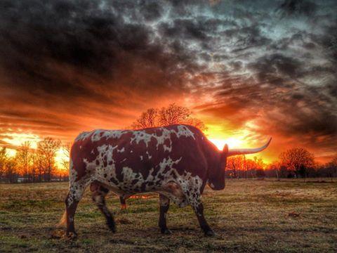 1000 Images About Longhorns Amp Bluebonnets On Pinterest