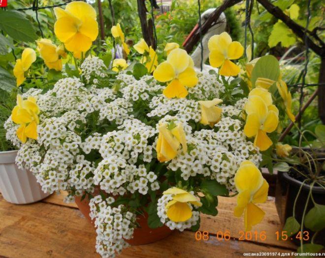 Цветы в горшках и подвесных корзинах - 3 | Страница 108 | Форум - FORUMHOUSE