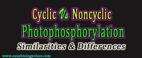 compare cyclic and noncyclic photophosphorylation