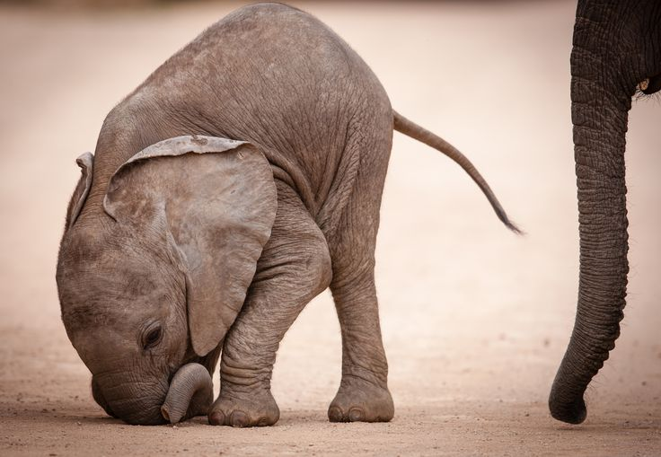 baby elephant - photo of elephant calf taken in addo national park south africa.