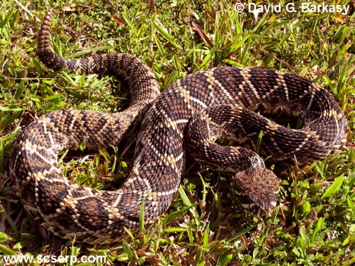 JPG The Eastern Diamondback Rattlesnake Is Largest And Most VENOMOUS Of Family They Are Also Irritable Will Attack With Little