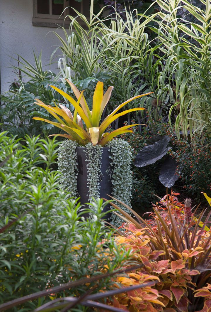 Brilliant foliage color in the Teacup Garden including golden Aechmea blanchetiana with cascading Dichondra argentea. ~Chanticleer