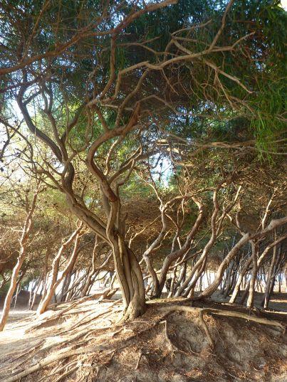Pine forest, Padula Bianca