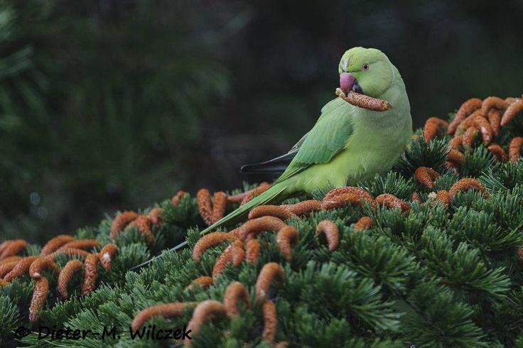 <p>Halsbandsittich 02 </p>    <p>Halsbandsittich_Psittacula krameri_Rose Ringed Parakeet_2012_11_30_79_01_00_137</p>