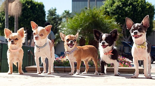 What Is The Ideal Weight For A Chihuahua Cute Chihuahua