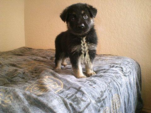 German Shepherd Dog puppy for sale in SAN ANTONIO, TX. ADN-42786 on PuppyFinder.com Gender: Male. Age: 7 Weeks Old