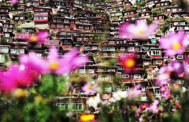 2015年10月2日,中国四川省甘孜藏族自治州。世界最大的佛学院——色达喇荣五明佛学院,数万僧人居住的红色小木屋在格桑花的辉映下显得神秘莫测。