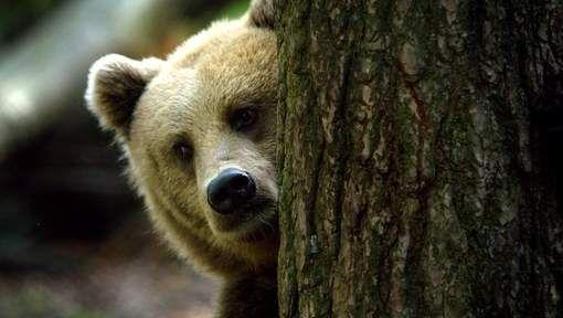 Meer bruine beren en wolven in Europa, minder Spaanse lynxen - HLN.be