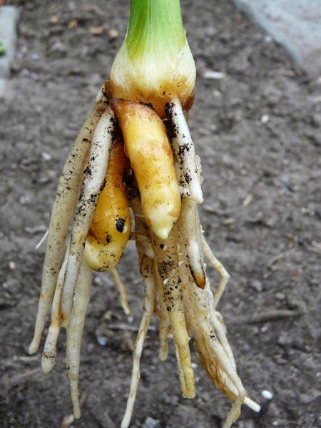 Kurkuma oftewel geelwortel kweken en oogsten