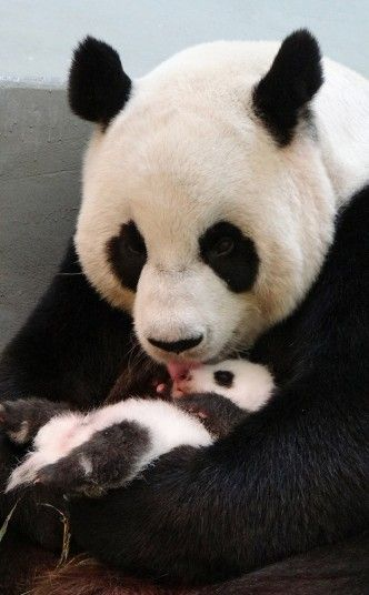"""Giant panda Yuan Yuan licks her baby in their enclosure at Taipei Zoo. The cub, the first panda born in Taiwan, was delivered on July 7 following a series of artificial insemination sessions after her parents Yuan Yuan and her partner Tuan Tuan failed to conceive naturally. Picture: AFP PHOTO / Taipei City Zoo"""