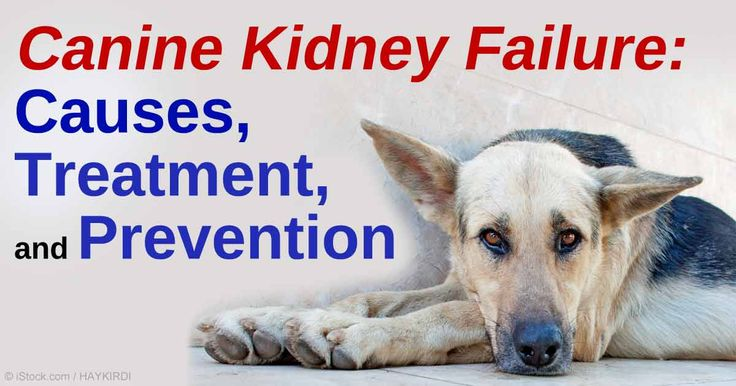 Learn about canine kidney failure, what causes kidney failure in dogs, and how you can prevent and treat this serious condition. http://healthypets.mercola.com/sites/healthypets/archive/2010/11/04/kidney-failure-pet-dogs.aspx