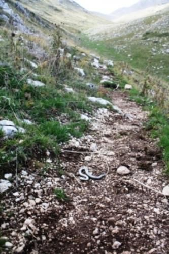 Viaggi: #PR #Sirente #Velino - RARO ESEMPLARE DI VIPERA DELLORSINI (VIPERA URSINII) TROVATO MORTO... (link: http://ift.tt/2ebvLqb )
