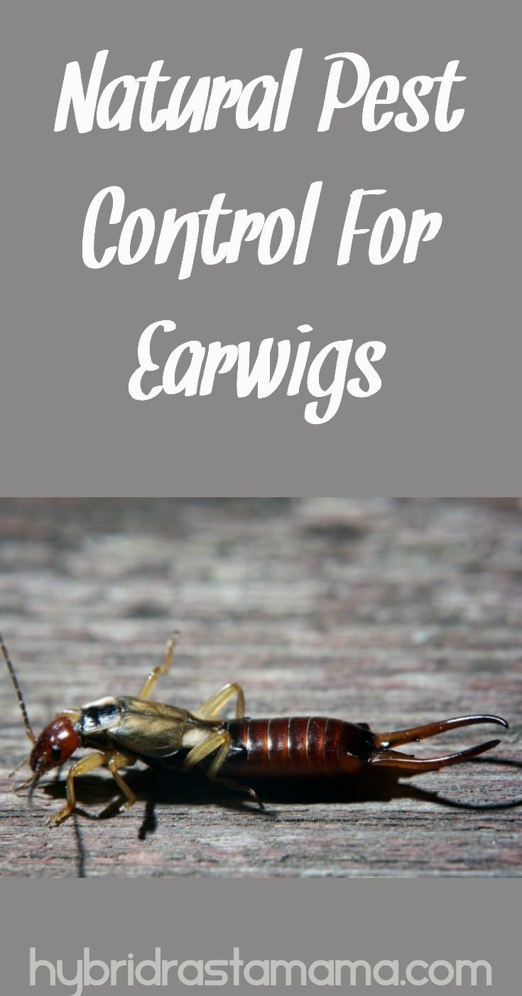Those pincher claws spook us all and why live in fear of a bug? Kiss those pesky earwigs goodbye with these easy, effective natural pest control solutions. From HybridRastaMama.com #pestcontrol #insectrepellent #pincherbug #bugs #earwigs #greenliving  via @hybridrastamama