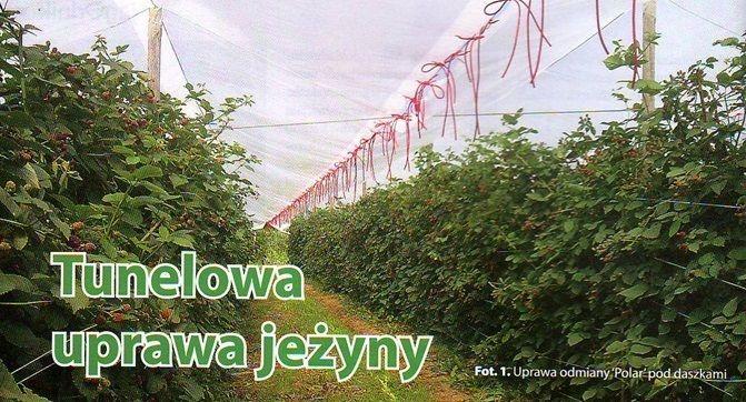Выращивание ежевики в тунелях - опыт Польши