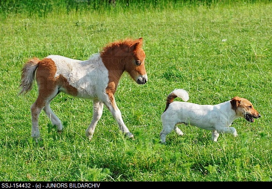 Animal friendship : Mini Shetland Pony foal and Jack Russell Terrier dog