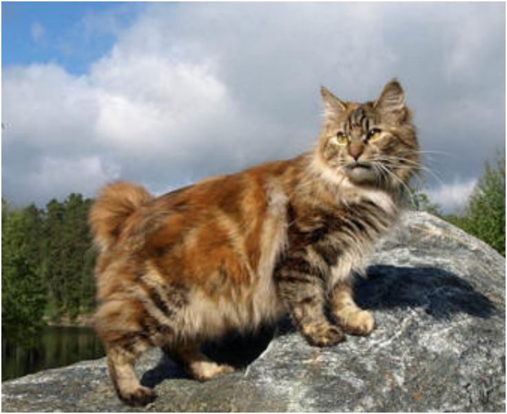 Top 10 Rare Cat Breeds Cats, Cat breeds and Animals and pets