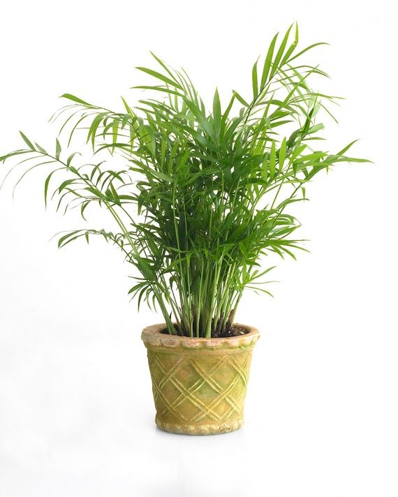 Parlor Palm (Neanthe Bella) Popular in Victorian times for its ability to tolerate dark , moody interiors, this plant remains a mainstay. It can withstand occasional drying out and low humidity. Though it tolerates low natural light, it looks its best under brighter conditions.
