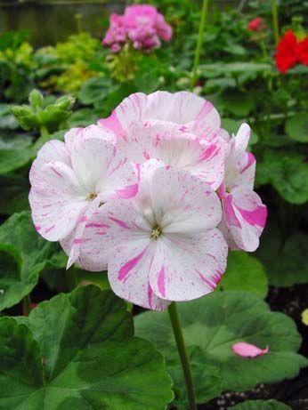 Geranium 'Barbara Eldridge' Pelargonium
