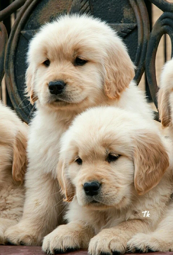 Cute Puppies 17 Pics: 25+ Best Ideas About Fluffy Puppies On Pinterest