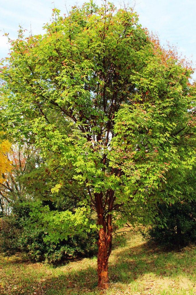 16 best horticulture botany images on pinterest for Specimen trees