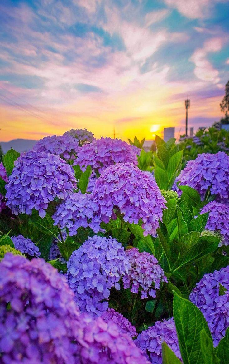 ảnh sưu tầm Beautiful hydrangeas, Beautiful nature
