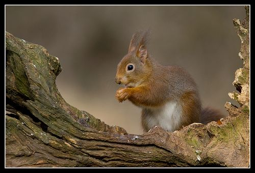 Red squirrel - Rode eekhoorn