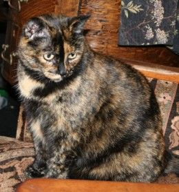 * * I HAVE A TORTIE AND HER NAME IS HARMONY. ALL CARRY THE FEMALE GENE. THE FUR IS ALWAYS A VARIATION ON A THEME OF BLACK, ORANGE AND SOME WHITE. HARMONY IS THE SWEETEST LITTLE BUD.