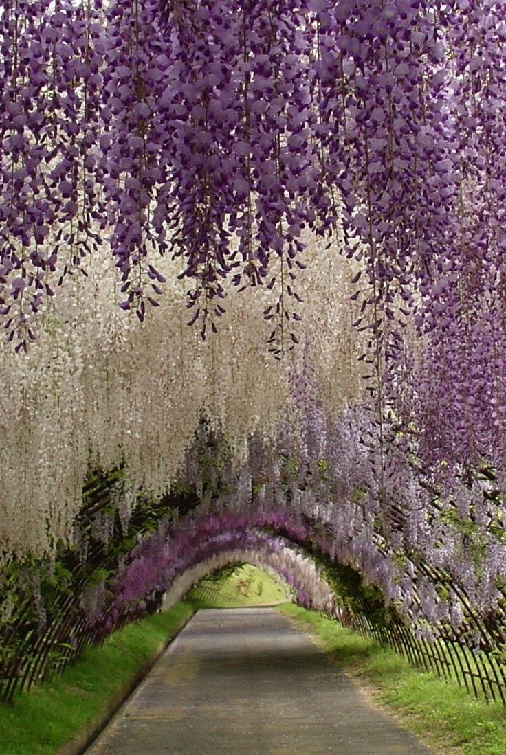 The Wisteria Tunnel at Kawachi Fuji Gardens, in Kitakyushu, Japan
