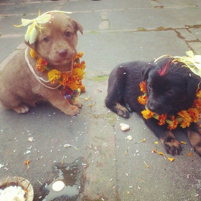 Kukur Tihar, a Nepalese festival which thanks dogs for being our friends