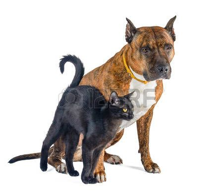 Cat and dog together isolated on white. Little black cat lovingly rubs against the red pit bull.