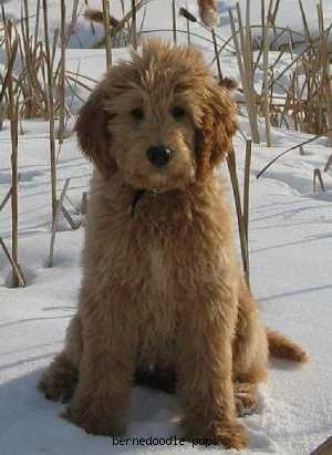 Bernedoodle in the snow being cute.