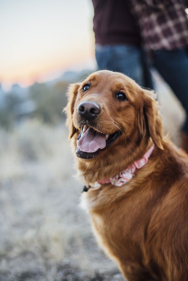 Engaging Tails Marley Dogs Golden Retriever Dog Photography Dogs