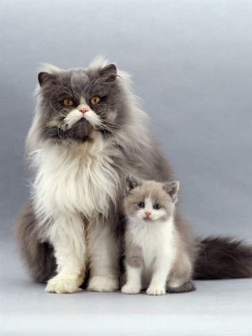 Average size of male persian cat