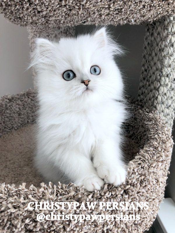 Christypaw Persians Silver Shaded Silver Chinchilla Golden Blue Golden Persian Kittens For Sale Persian Kittens For Sale Persian Kittens Teacup Kitten