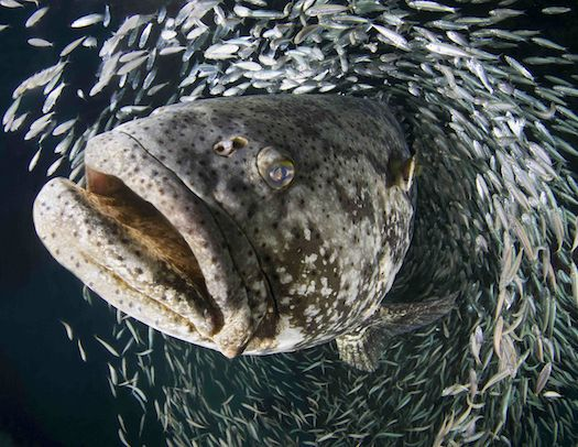 Another entry in the annual University of Miami photo competition, this startling action shot captured this majestic Goliath Grouper swimming through a school of fish.