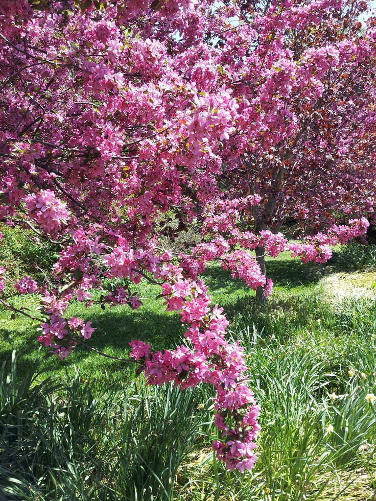 17 best images about trees that flower on pinterest crab for Crabapple tree