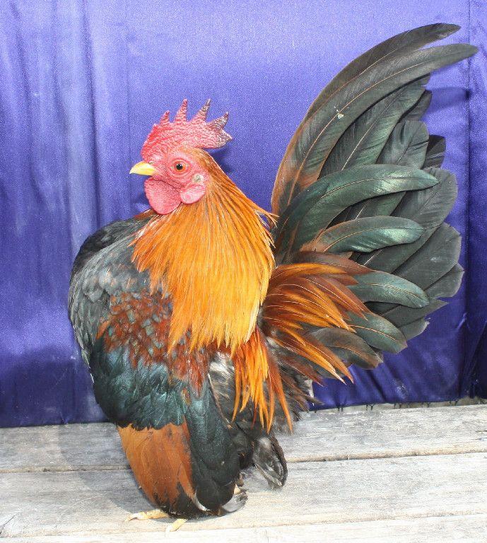 Wheaten American Serama Chicken Breeds Pinterest