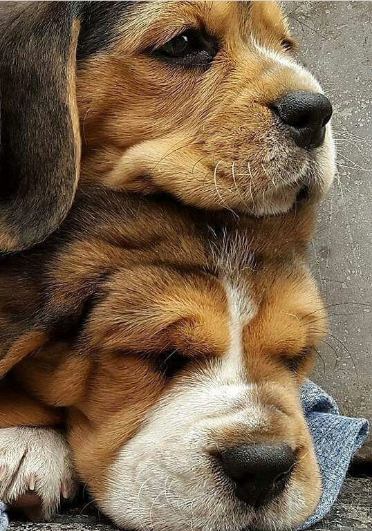 Beagles are very popular and one of the reasons for this is their wonderful disposition.