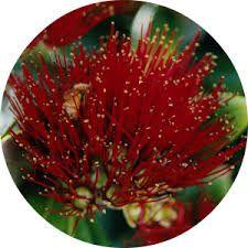 Image result for pohutukawa tree